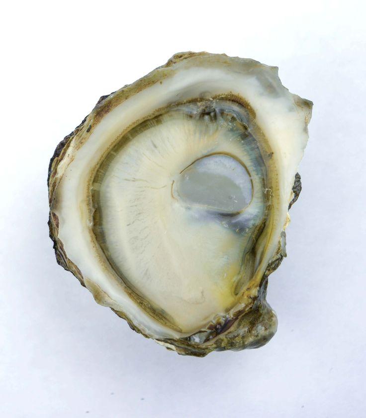Olympia Oyster - Taylor Shellfish