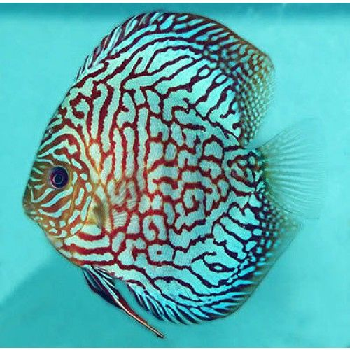 Checkerboard Blue Discus