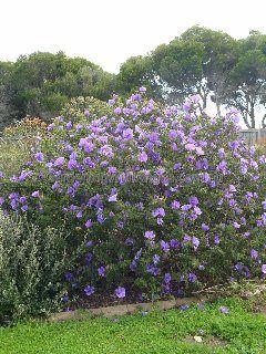 Alyogyne Huegelii (Australian Native Hibiscus)