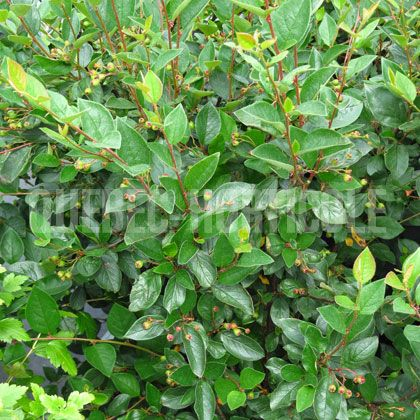 Cotoneaster acutifolius haies ignoré des cerfs fleurs et fruits