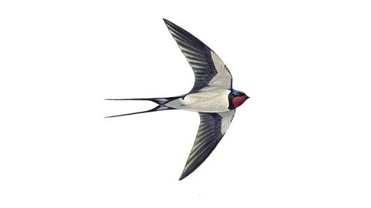 Swallow, Hirundo rustica, the first ones this year 7/5/15. Summer is really coming...