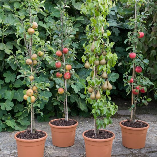 árboles frutales en macetas
