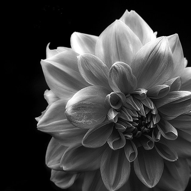 Black And White Flower By Aha42