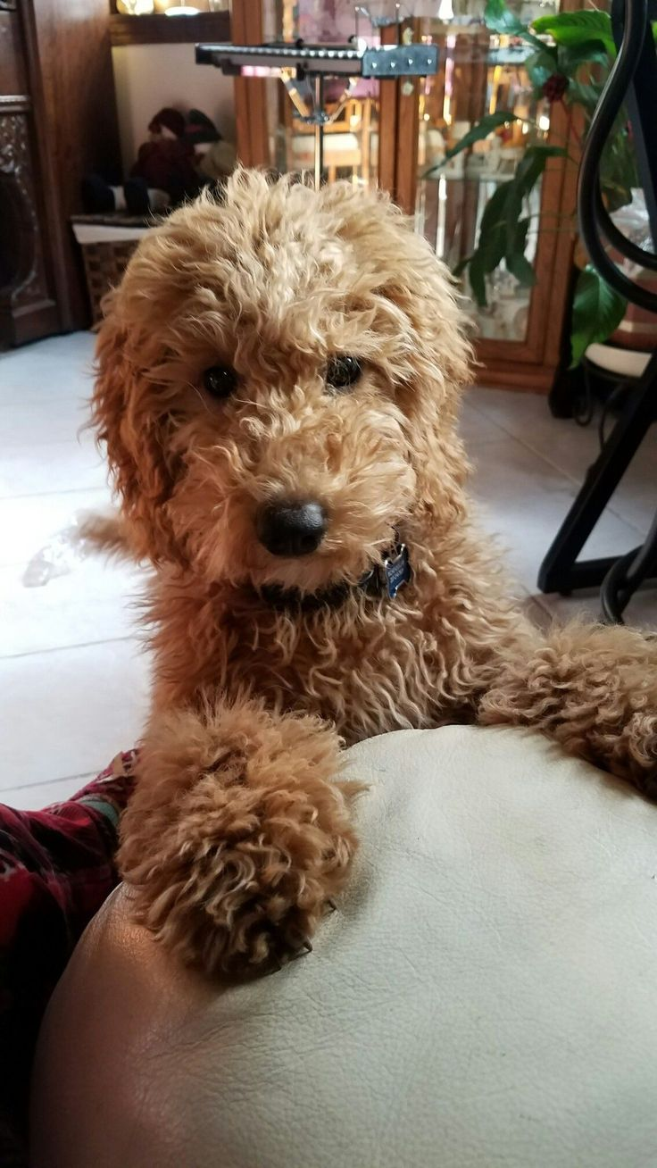 how to groom a goldendoodle puppy