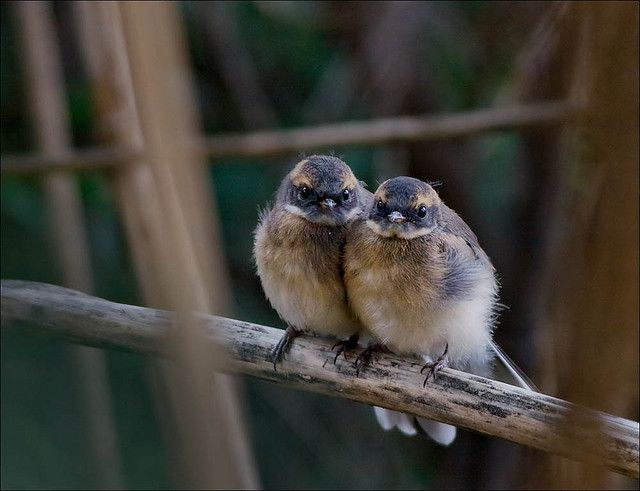 Baby grey fantails  (photo by aaardvaark)