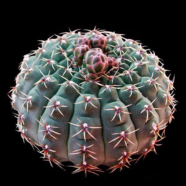 Gymnocalycium quehlianum seeds
