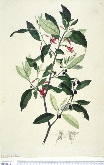 Fuchsia Excorticata -- New Zealand  -  Curtis's bot. Mag. 49: t. 2350 [1822].  The Endeavour botanical illustrations - artist James Miller