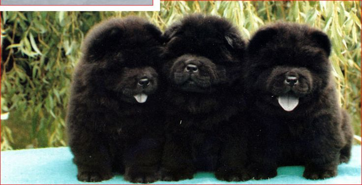 3 adorables b�b�s chow chow.    Please like and repin!