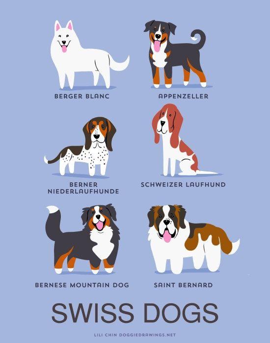Stampa artistica cani svizzeri razze canine di doggiedrawings