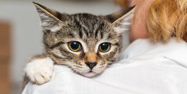 肩乗り猫の理由10031 子猫 猫 動物