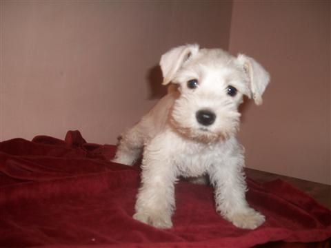 I've been looking for a new puppy for a while and cannot find one. I want a female, white, miniature schnauzer. If you know of any place I can get one, please let me know!