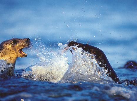 Seals in the Baltic Sea   (by photographer Markku Jokinen)