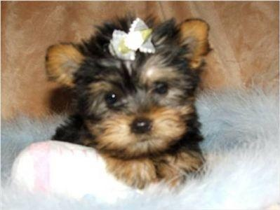Image detail for Teacup Yorkie Puppies For Free
