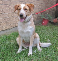 Sassy is an adoptable Australian Cattle Dog (Blue Heeler) Dog in Dallas, TX. Looking for lots of energy, personality, and affection