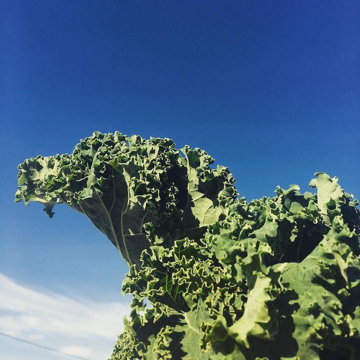 Kale against a blue sky - my aesthetic   #kale #sky #aesthetic #basic #whitegirl