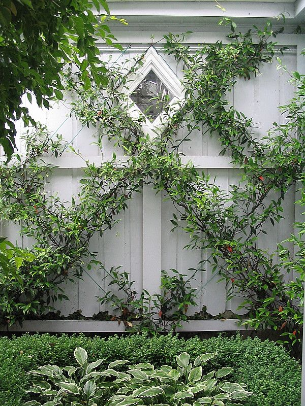 Chinese Star Jasmines on espalier wires against a garage wall, with buxus and hostas. HEDGE Garden Design & Nursery