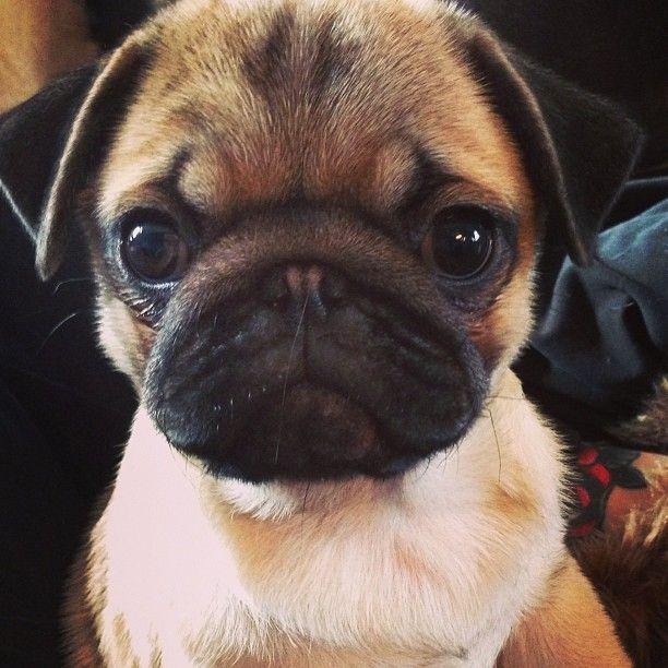 Pug staredown