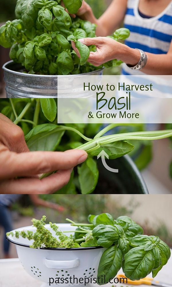 Get more from your basil through harvesting. It's simple -- the more you pick the more it grows.