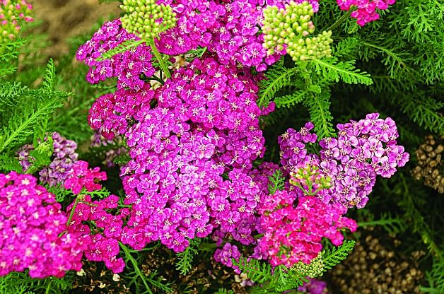 74 best images about yarrow achillea millefolium on for Pretty low maintenance flowers