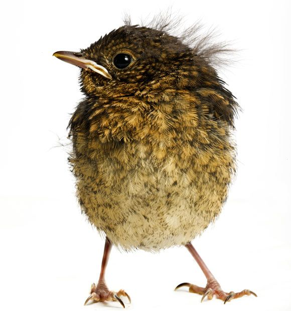 Gavin's Baby Bird project aims to highlight the annual influx of juvenile birds through creating larger than life detailed images to show both the public and the rescuers what the birds actually look like. A baby robin photographed at Folly Wildlife Rescue Centre