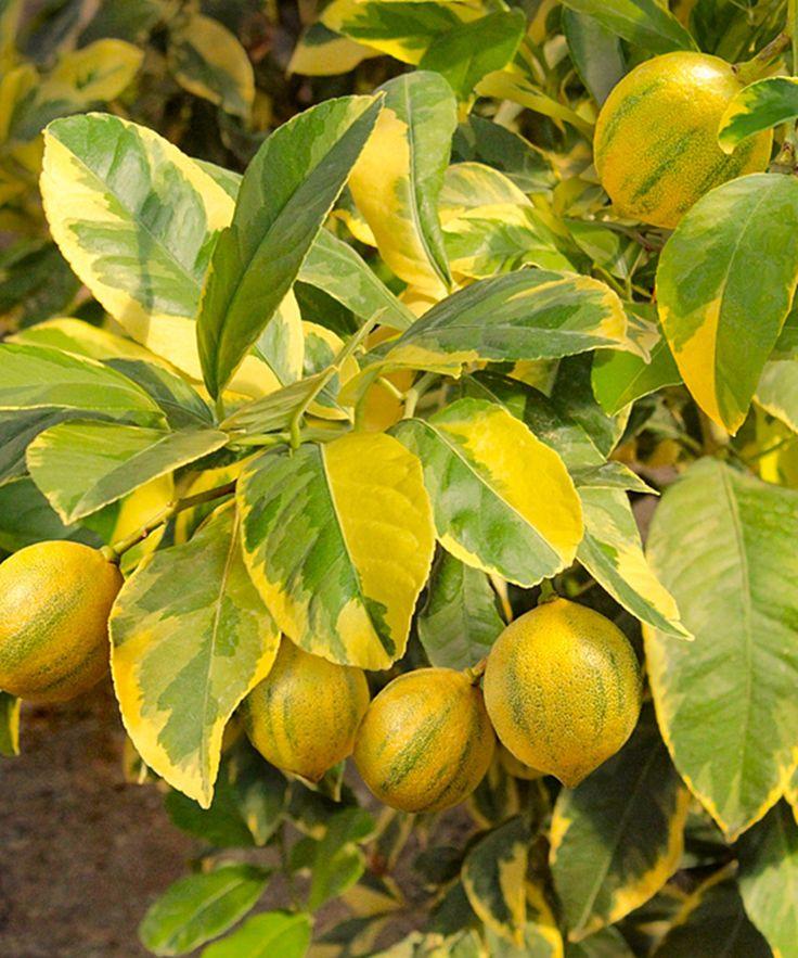 Cottage Farms Direct Live Pink Variegated U0027Eurekau0027 Lemon Patio Plant