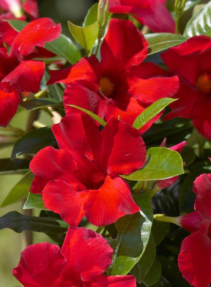 Sun Parasol 174 Giant Crimson Mandevilla Big Bad Flower