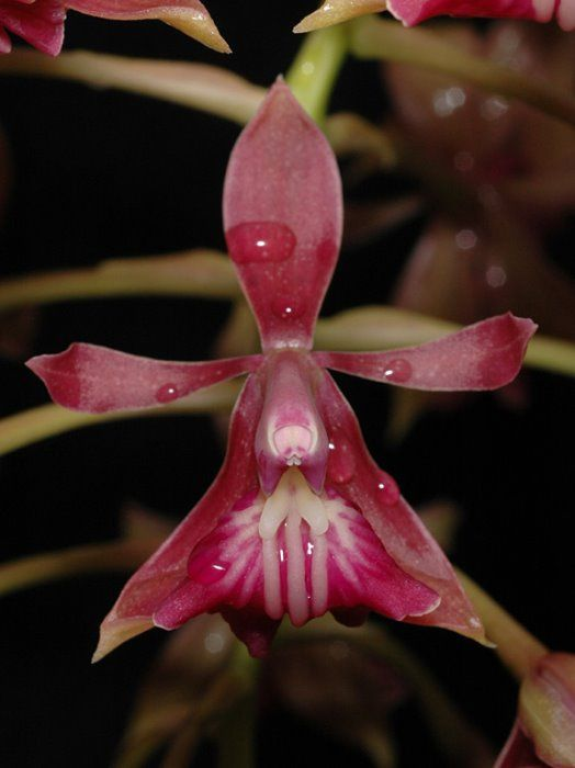 Epidendrum Radioferens2_Close view