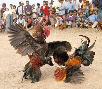 Fighting Cock Roaster