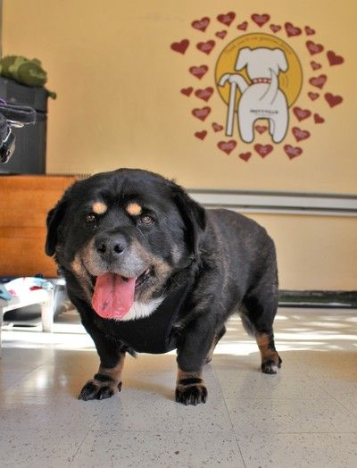 Wilbur, the Rottweiler/Corgi mix (or maybe Rottie/Potbellied Pig)