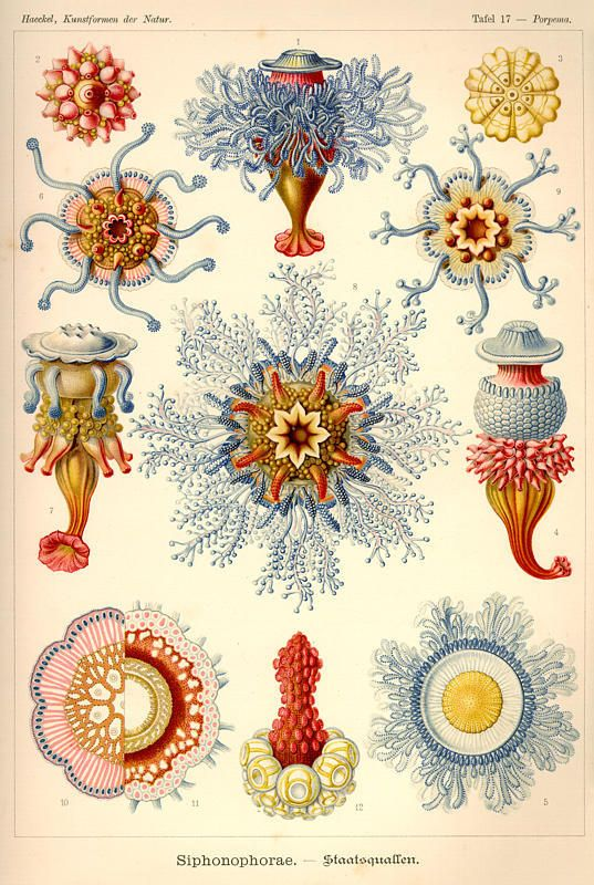 Ernst Haeckel- natures artistry..... His work as an illustrator is the most amazing representations of actual living creatures....