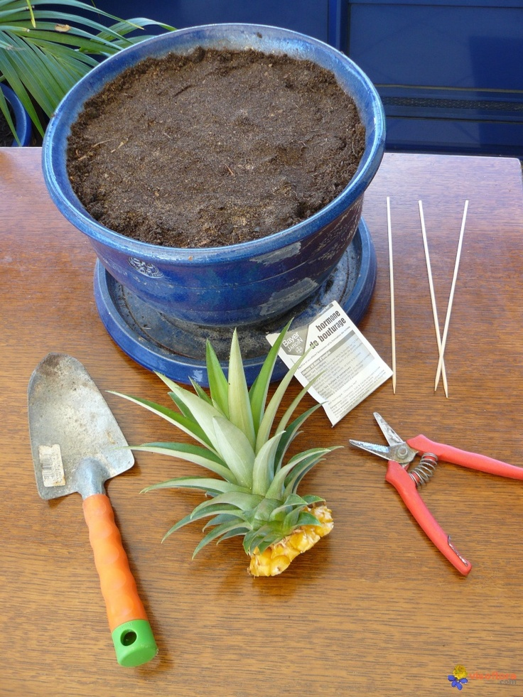 planter un ananas voor in de tuin