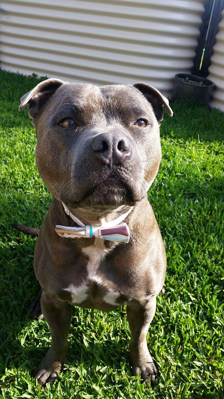 Dapper English Staffordshire bull terrier.  Storm. Blue boy. Beautiful  Staffy. #pedigree #staffy #blueboy #lovedogs