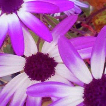 Purple and White by Dick Donaghue