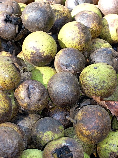 There are several tricks you can use to prepare your black walnut crop.