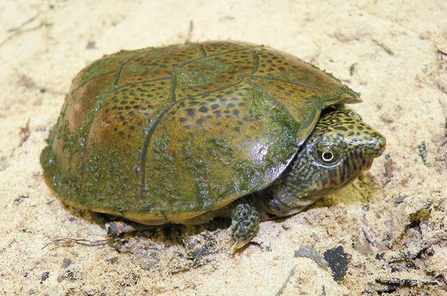 The Flattened Musk Turtle is one of five species of Musk Turtles.