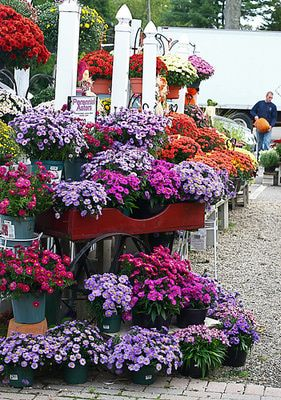 Want to know the best flowers for fall gardens?  Pin it to Save it!