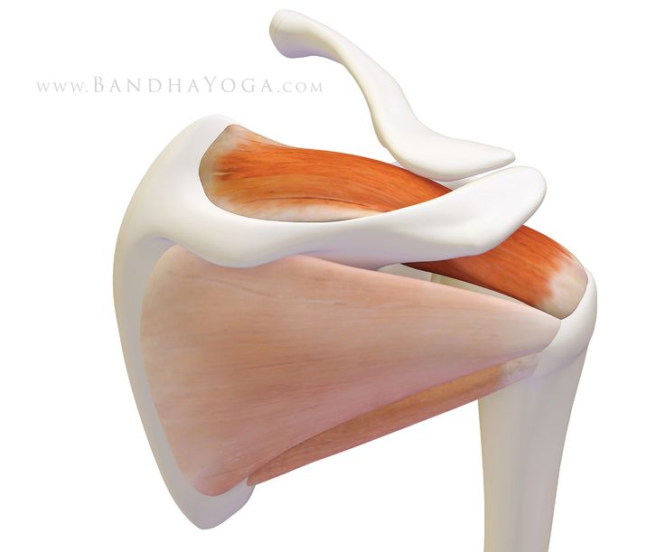 The Daily Bandha: Shoulder Biomechanics, Part III: The Supraspinatus Muscle