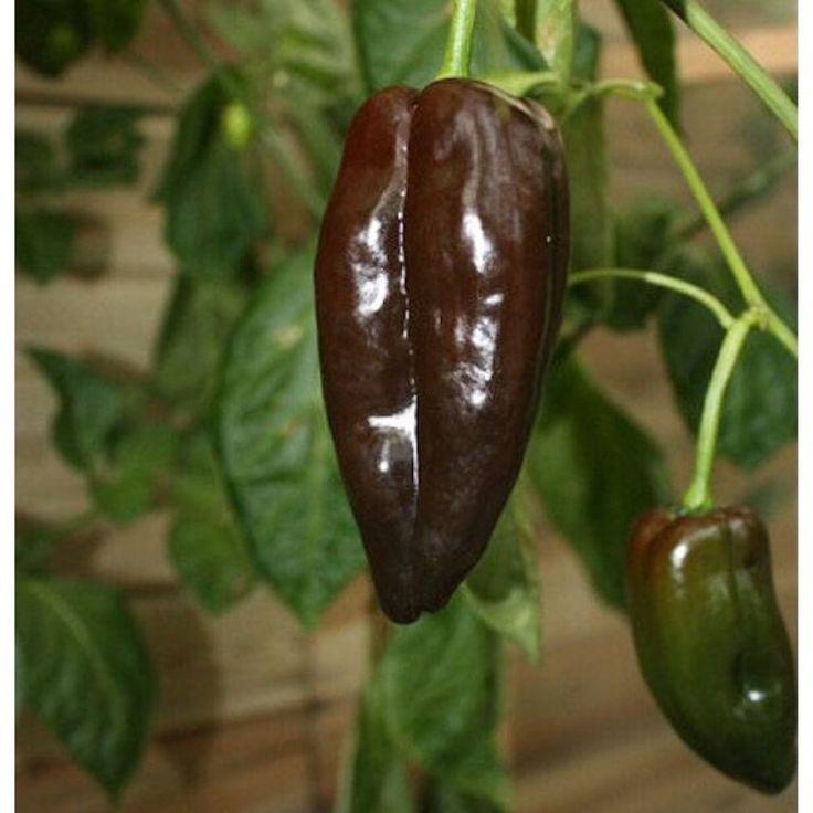 CHOCOLATE POBLANO Pepper Seeds -(Capsicum annuum) Also called,Mulato Isleno - Popular chilies in Mexico,