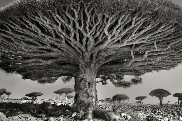 Beautiful dark twisted fantasies: the world's most ancient trees – in pictures