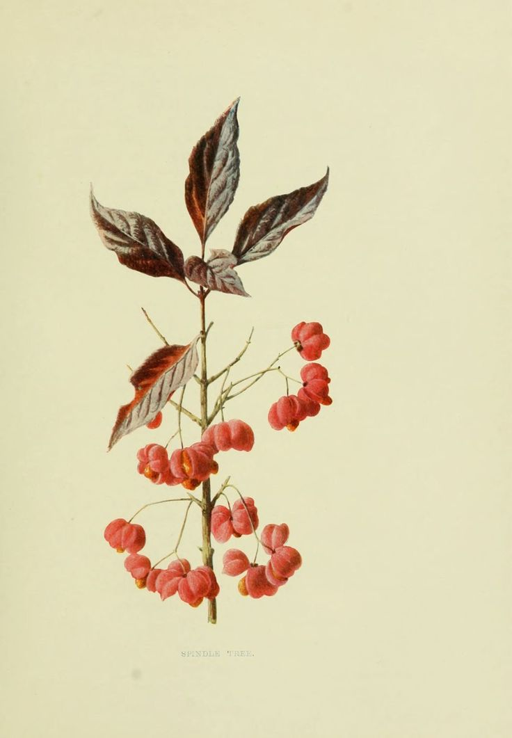 fruits sauvages campagne - gravure fruit sauvage 0087 fusain d europe - euonymus europaeus - Gravures, illustrations, dessins, images