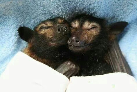 Spectacled flying foxes smiling in their sleep