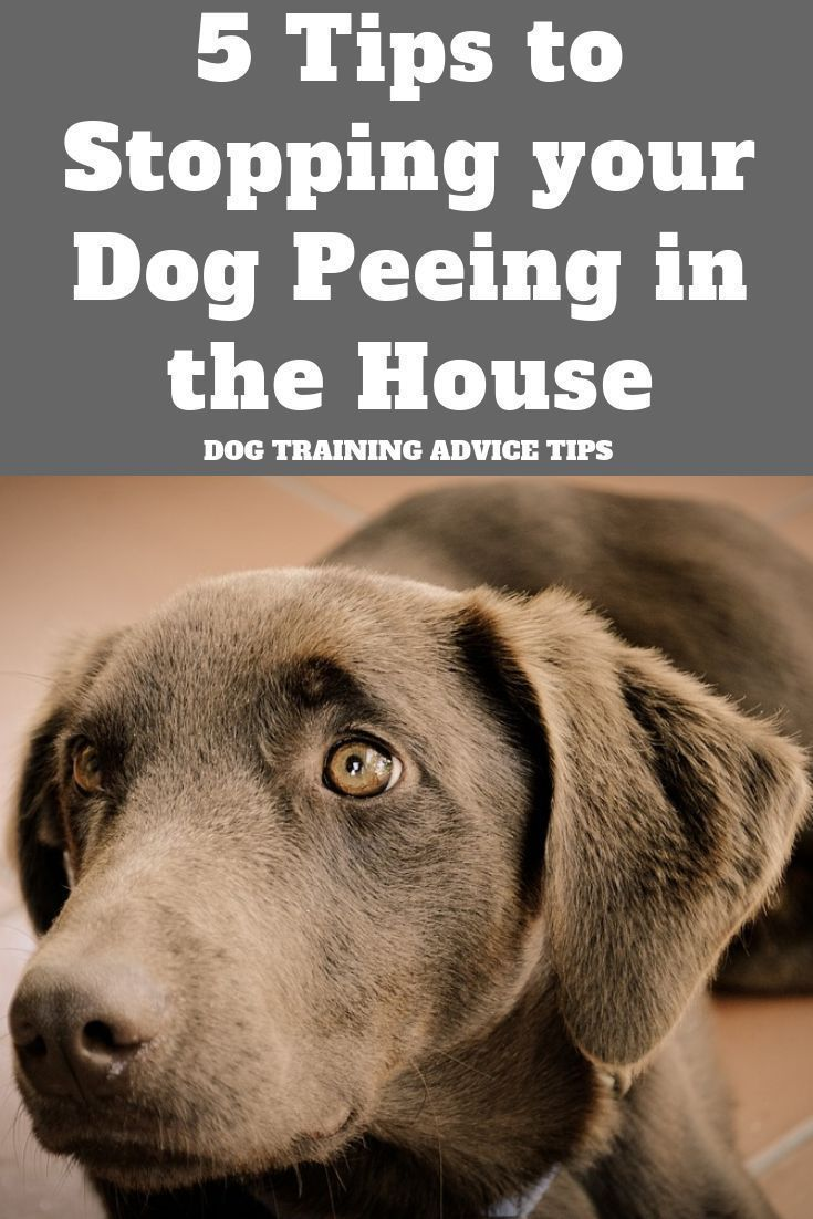 5 Tips To Stopping Your Dog Peeing In The House Dog Pee Dogs