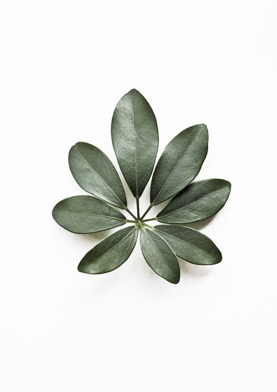 Eight | Schefflera Arboricola | Botanical Portraits | http://www.whatiseewhenirun.com/product/eight-schefflera-arboricola