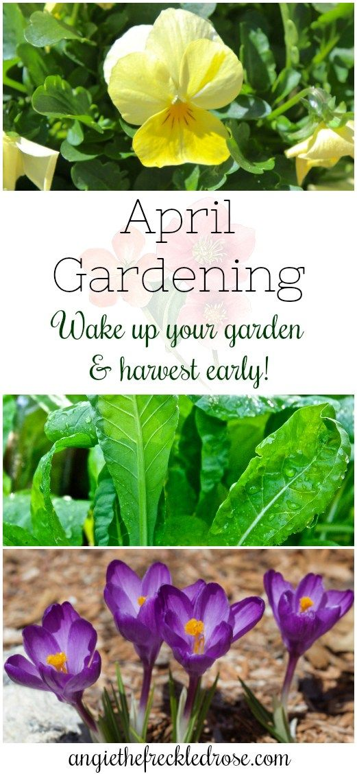April Gardening in Zone 6 | angiethefreckledrose.com | April is definitely a transition time for us gardeners in zone 6. Here in Massachusetts, we haven't seen the last of the snow. Flakes may be falling next week. Luckily, it isn't sticking so the gardens are still visible even after a snow storm.