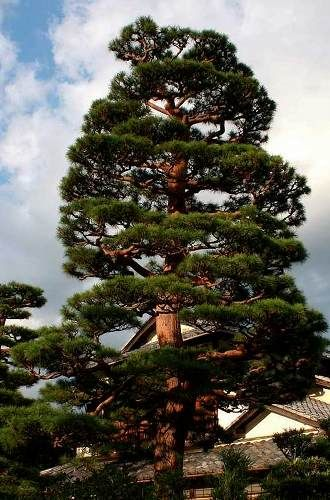 37 best images about akamatsu on pinterest gardens for Mature pine trees