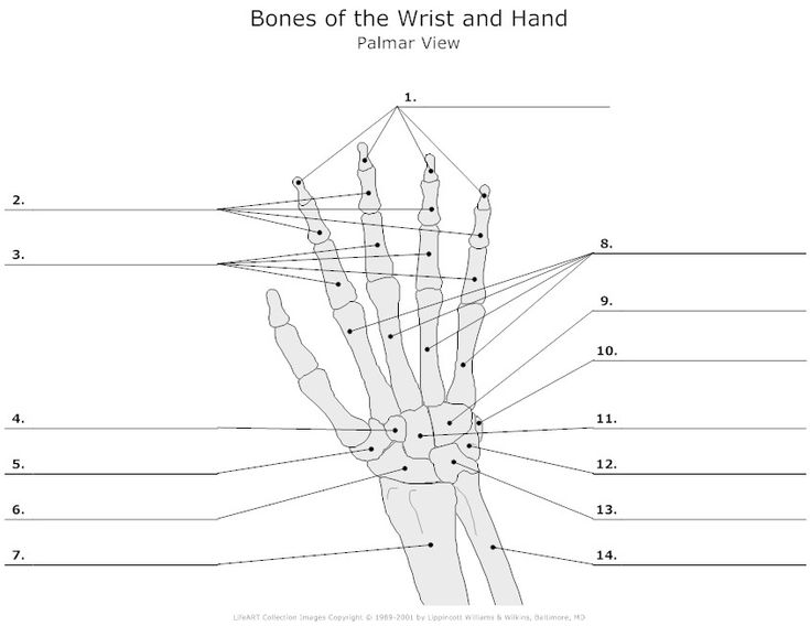 bones of the wrist and hand unlabeled