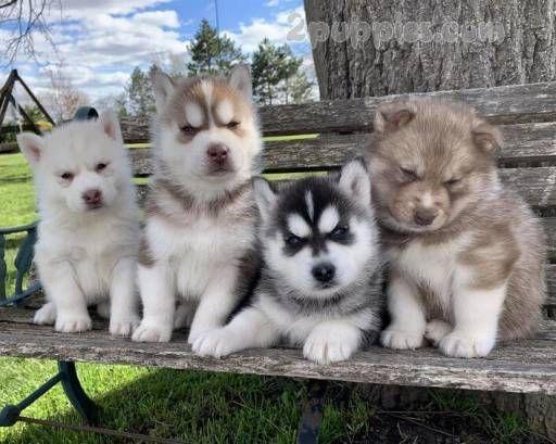 Siberian Husky Puppies For Sale 1913 2puppies Com Siberianhusky Westie Dogs Malamute Dog Husky Puppies For Sale