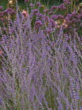 Perovskia Little Spire Bluestone Perrenials 2015, planted x 3, driveway hellstrip, full sun