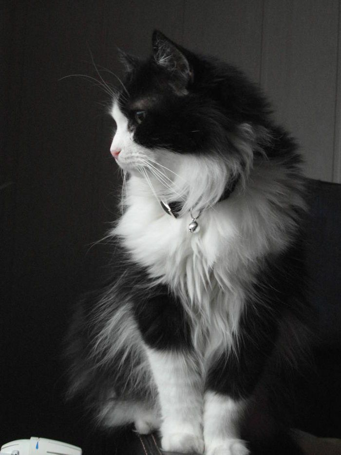 lindo gato preto e branco