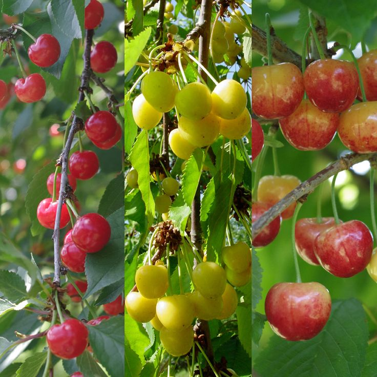 17 best images about on pinterest queen anne yellow plums and brazilian cherry - Romanian cherry tree varieties ...